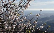 El buen tiempo adelanta la flor del almendro en Málaga