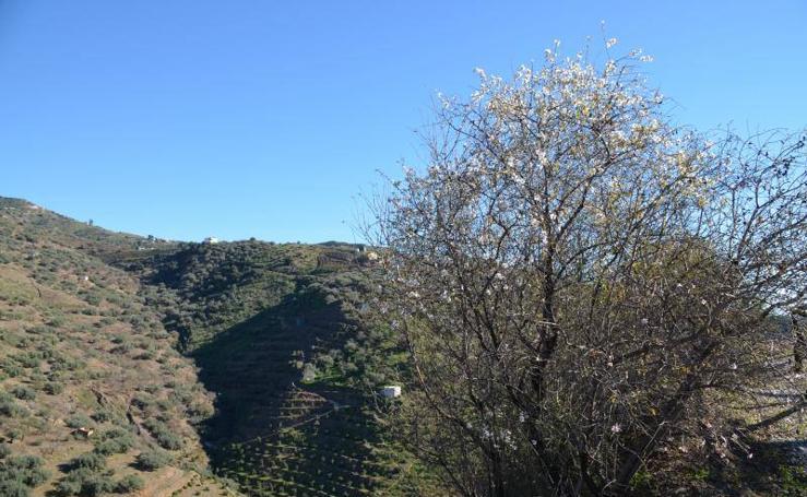 Almendros en flor en la provincia de Málaga en enero (y II)