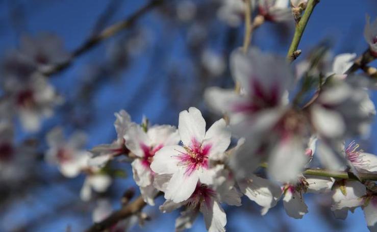 Almendros en flor en la provincia de Málaga en enero (I)