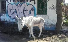 El Refugio del Burrito denunció 830 maltratos o abandonos y rescató 113 équidos
