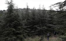 ¿Se comunican los pinsapos de la Sierra de las Nieves entre sí?