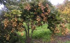 Longan, otra fruta asiática que se puede producir en la provincia