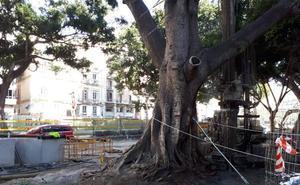 El Ayuntamiento de Málaga refuerza las raíces de los árboles de la Alameda con micropilotes