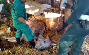 Rescatan a 21 equinos agonizantes en Villanueva de Algaidas