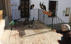 SIETE PAVOS REALES PASEAN POR EL CENTRO DE RONDA
