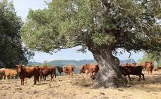 Las vacas del Ayuntamiento de Ronda
