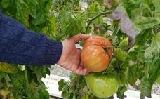 La Mayora busca estrategias para controlar la mosca blanca en cultivos de tomate