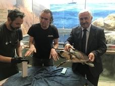 El Aula del Mar rescata a cuatro tortugas marinas intoxicadas por comer plásticos