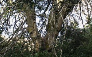 El monumento natural de la Sierra de las Nieves que se muere
