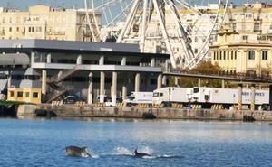 Un grupo de delfines se exhibe en el Puerto de Málaga