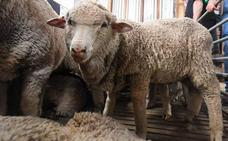 Consiguen fecundar ovejas con semen congelado hace 50 años
