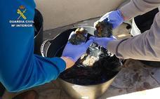 Intervienen en Málaga una tonelada de anémonas capturadas de manera ilegal
