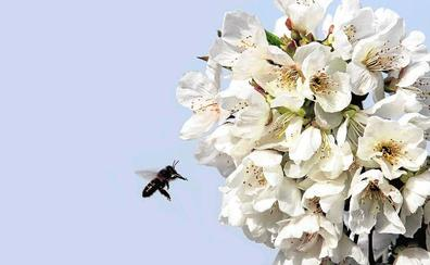 Abril, el mes en el que florecen los cerezos