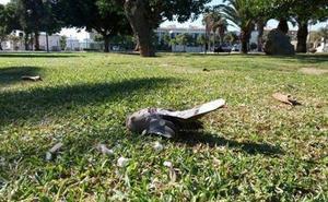 Tórtolas muertas a diario en el Parque de Huelin