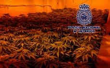 Desmantelan tres invernaderos con 277 plantas de marihuana en un bloque de Monte Pavero