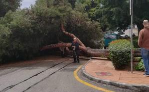 Vistamar: susto por la caída de un enorme pino