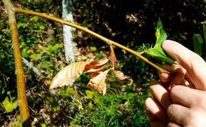 Productores aplauden la suelta de insecto contra la avispilla del castaño
