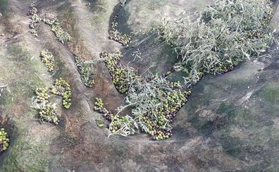 El olivar malagueño, cada vez más «ahogado» por la caída de precios del aceite de oliva
