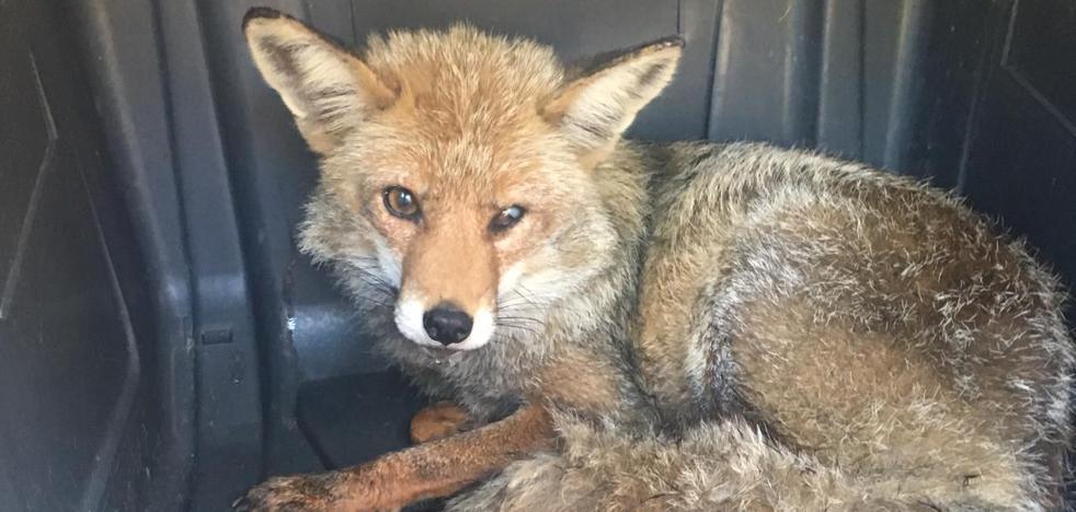 La historia de 'Velecito': un zorro rescatado dos veces en la Axarquía