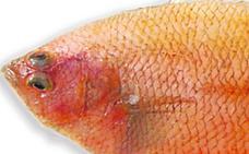 Tapaculo, un sabroso pescado plano del litoral malagueño