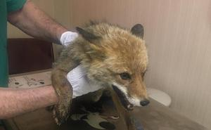 Capturan por tercera vez al zorro 'Velecito', que será trasladado a una reserva en Ojén
