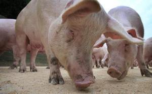 Las exportaciones de porcino a China crecen más de un 30% en los primeros meses de 2019