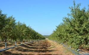 Andalucía recogerá 14.950 toneladas de almendra en la campaña 2019-2020