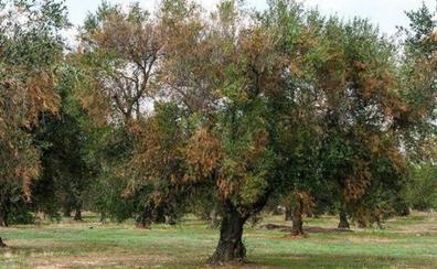 Málaga acogerá un encuentro internacional para prevenir una agresiva enfermedad del olivar