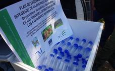 La Junta completa la suelta del depredador biológico contra la avispilla del castaño