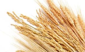 La cosecha de cereales en Málaga será un 45% inferior con sólo 85.000 toneladas