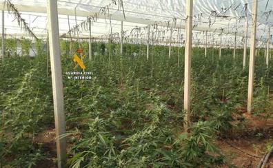 Intervenidas 496 plantas de marihuana en una plantación 'indoor' en Periana
