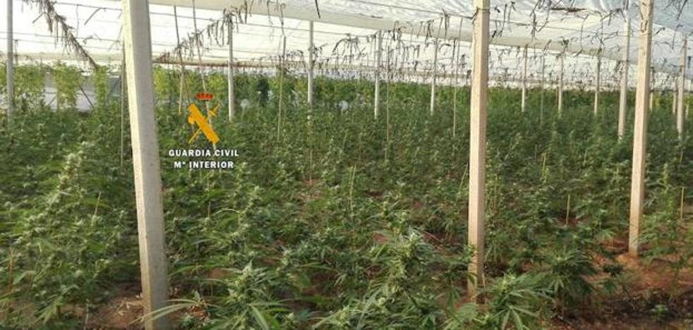 Intervened 496 marijuana plants in an 'indoor' plantation in Periana
