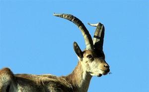Málaga, entre las áreas de emergencia cinegética temporal por sarna en cabra montés