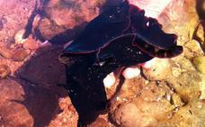 Las liebres de mar, los otros invertebrados inofensivos que te puedes encontrar de forma masiva en las playas malagueñas
