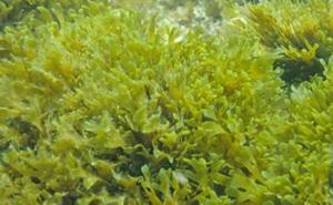 Una alga invasora que se ha convertido en una pesadilla y de la que ya hay muestras en Estepona