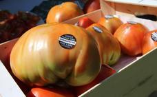 Arranca la cosecha del tomate huevo de toro en el Valle del Guadalhorce