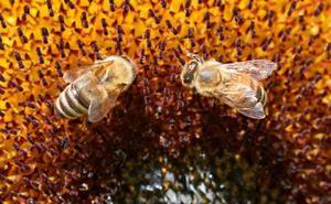 El zumbido de las abejas, la estrategia de la India para alejar a los elefantes de los trenes