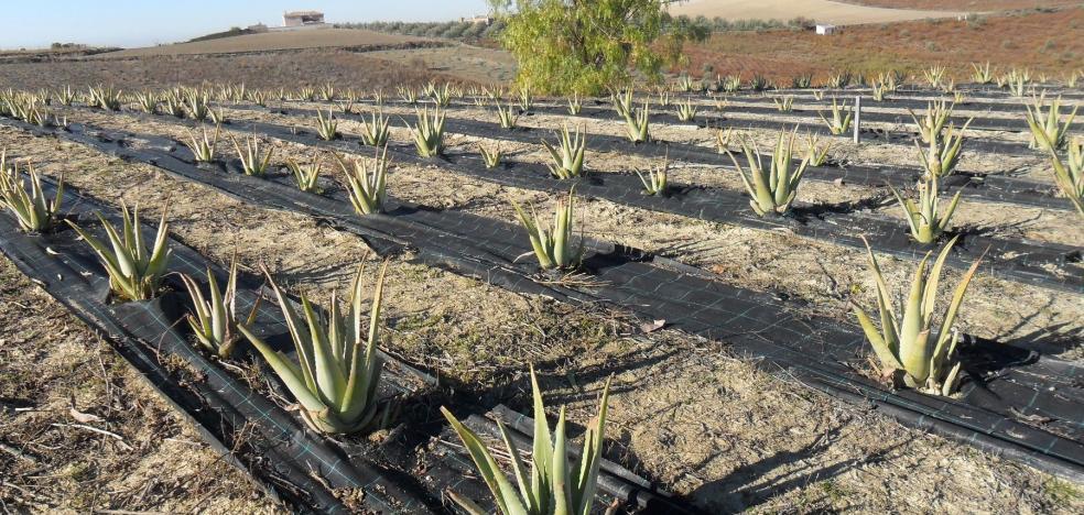 El aloe vera, alternativa al cultivo tradicional en Málaga