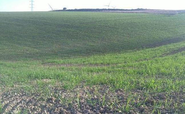 La cosecha de cereales en Málaga será un 45% inferior por la sequía