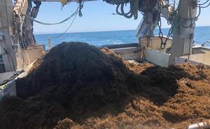 El alga invasora que reduce las capturas pesqueras en Estepona y Marbella