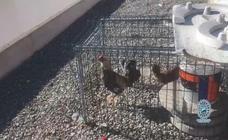 Destapan un criadero gallos de pelea en una azotea de la barriada de Ciudad Jardín