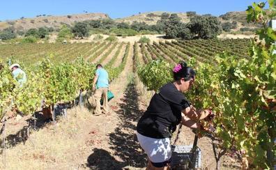 Viticultores prevén vendimiar cerca de 1,5 millones de kilos de uvas