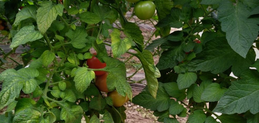 La Mayora alerta de la rápida expansión del virus del amarilleo del tomate en el mundo