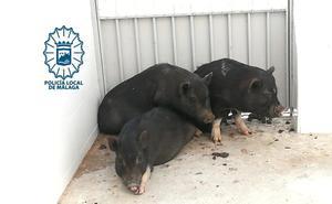 Recuperan tres cerdos vietnamitas abandonados en un recinto cerrado perteneciente a Emasa