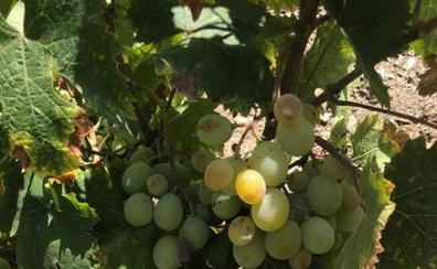 Viticultores de la Axarquía esperan comenzar la vendimia entre finales de julio y primeros de agosto