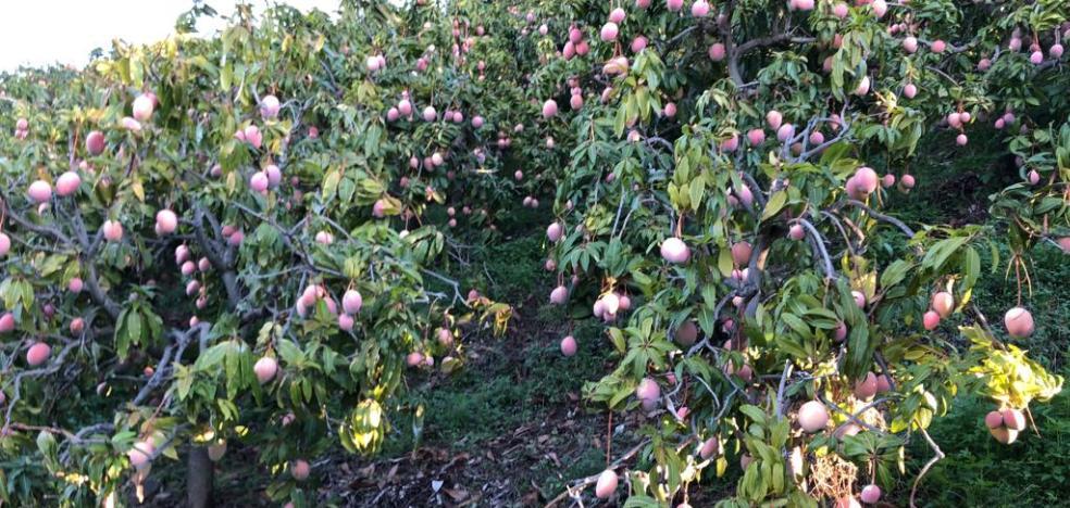 La cosecha de mango de este año será un 50% menor que la de 2018, que fue récord