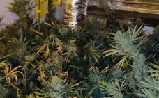 Caen dos puntos de venta de droga en Málaga con tres detenidos y 180 plantas de marihuana incautadas
