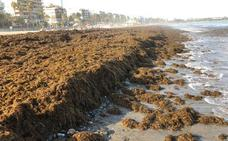 Piden el aumento de la limpieza en playas de Estepona por la aparición de algas asiáticas invasoras