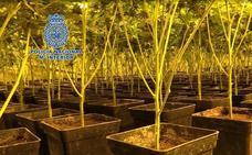 Así funciona una plantación 'indoor' de marihuana