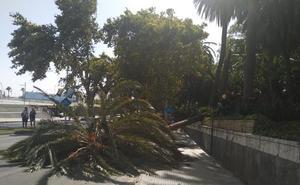 El viento tira una palmera en el Paseo de los Curas